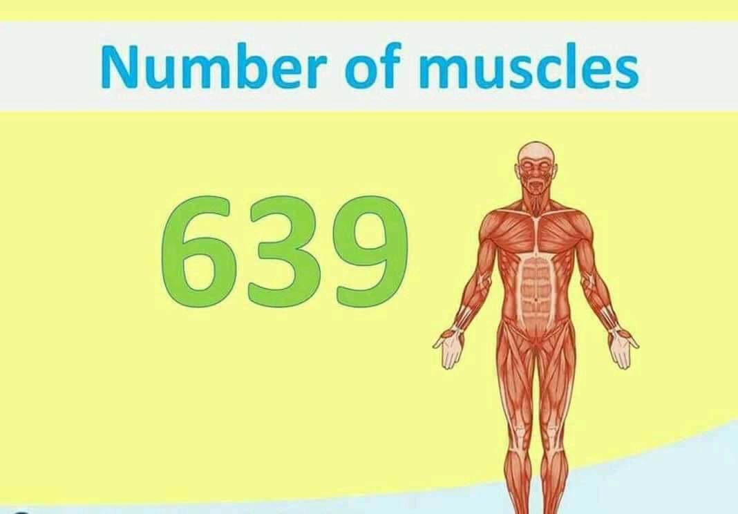 Total no of muscle in human body 639