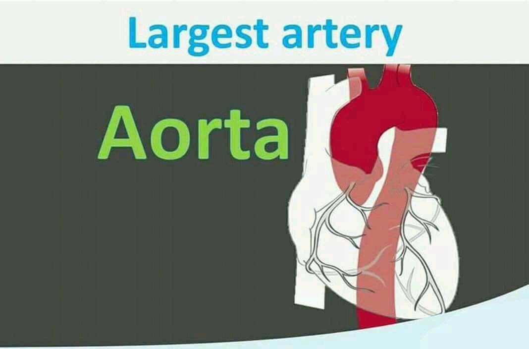 Largest artery is Aorta